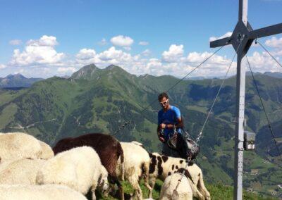schapen onderweg
