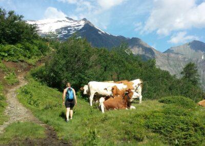 koeien versperren weg